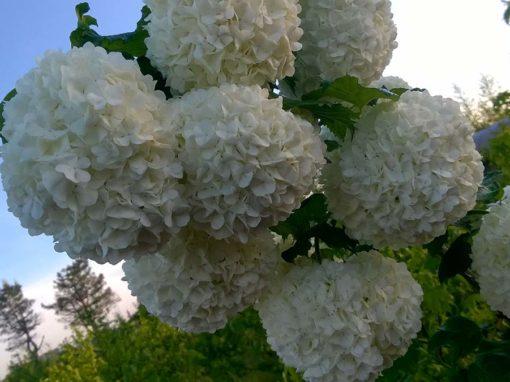Arbusti sempreverdi e da fiore<p>Ortensia / Rododendro / Hibiscus / Ginestra…</p>