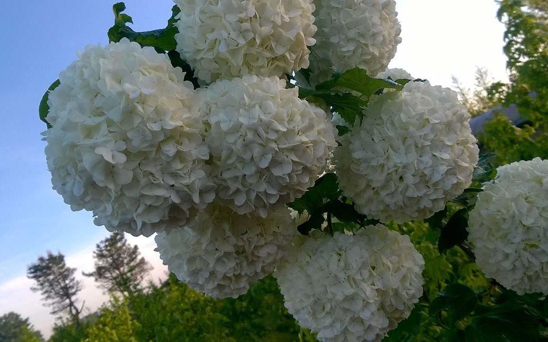 Arbusti sempreverdi e da fioreOrtensia / Rododendro / Hibiscus / Ginestra…
