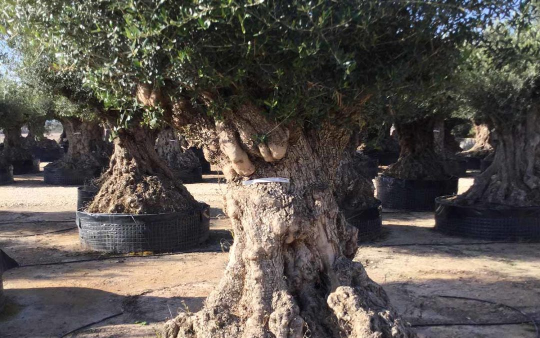 Ulivi a bonsai